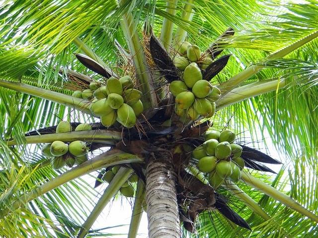 pohon kelapa.jpg